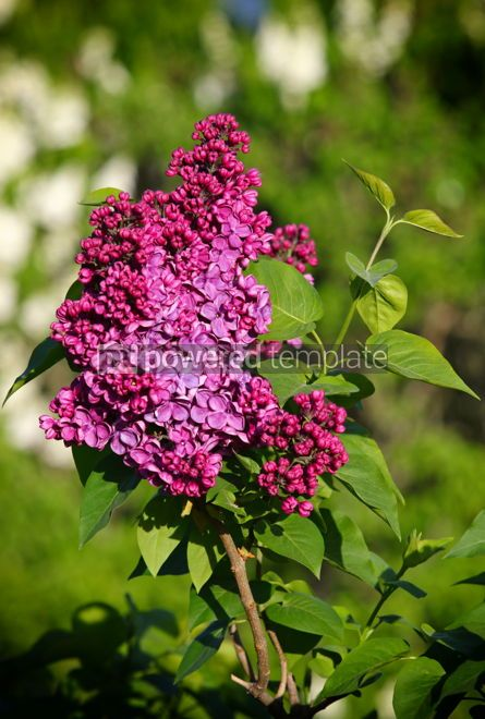 Nature: Branch of blossoming pink lilac in the garden #03026