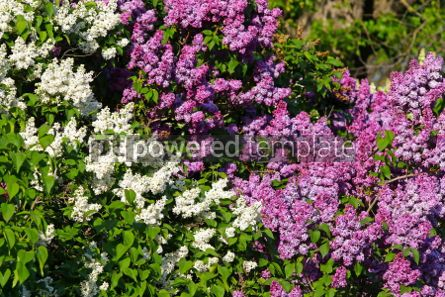 Nature: Branches of blossoming lilac in the garden #03028