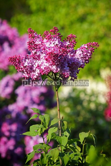 Nature: Branch of blossoming pink lilac in the garden #03029