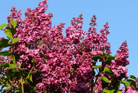 Nature: Branches of blossoming pink lilac against the blue sky #03030