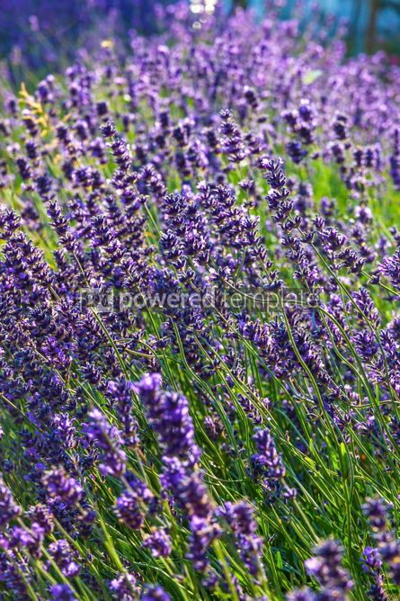 Nature: Close-up Lavender bushes in sunny day #03031