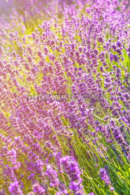 Nature: Lavender flowers at sunlight in a soft focus #03032