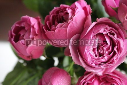 Nature: Beautiful pink peony roses #03435
