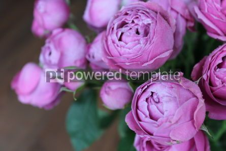 Nature: Close-up purple peony roses #03436