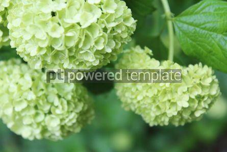 Nature: Green hydrangea #03438