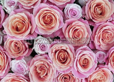Holidays: Pink and orange roses #03441