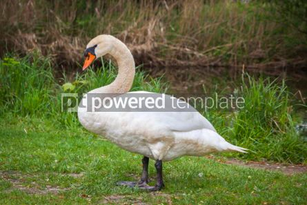 Animals: White swan standing on grass #03457