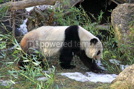Animals: Giant panda bear walking in a Zoo #03460