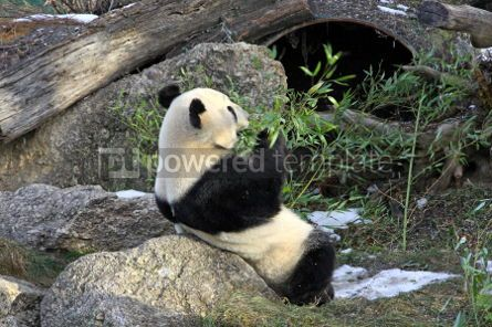 Animals: Giant panda bear eating bamboo leaf #03461