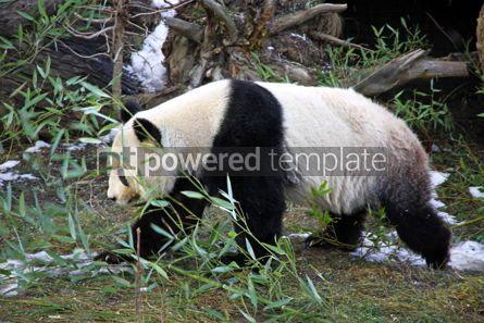 Animals: Giant panda bear walking in a Zoo #03462