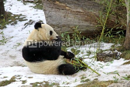 Animals: Giant panda bear eating bamboo leaf #03463