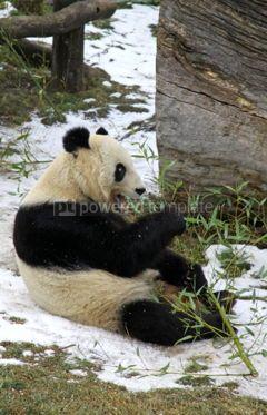 Animals: Giant panda bear eating bamboo leaf #03464