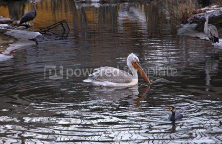 Animals: 사진 - 비엔나 동물원 오스트리아 펠리 칸 #03466