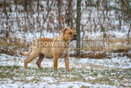 Animals: Ca de Bou (Mallorquin Mastiff) puppy dog #03468