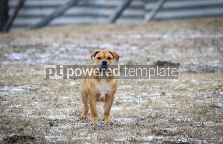 Animals: Ca de Bou (Mallorquin Mastiff) puppy dog #03470