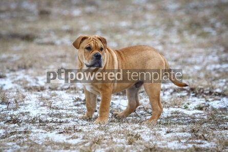 Animals: Ca de Bou (Mallorquin Mastiff) puppy dog #03471