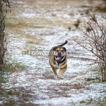 Animals: Ca de Bou (Mallorquin Mastiff) dog #03472