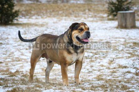 Animals: Ca de Bou (Mallorquin Mastiff) dog #03473