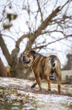 Animals: Ca de Bou (Mallorquin Mastiff) dog #03474