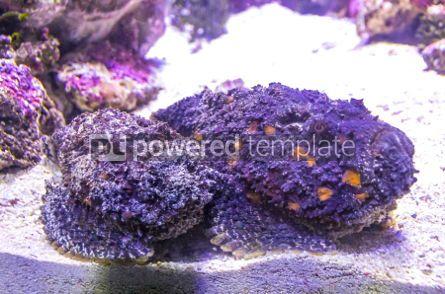 Animals: Reef Stonefish (Synanceia verrucosa) seen underwater #03475
