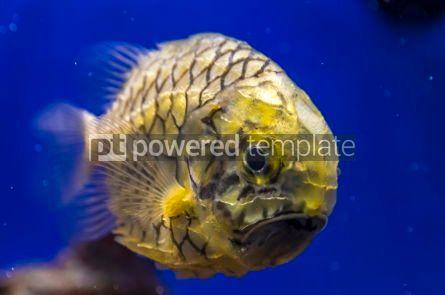 Animals: Pineapplefish (Cleidopus gloriamaris) seen underwater #03476