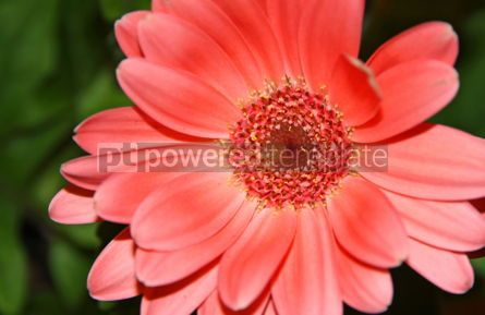 Nature: Close-up pink daisy flower #03478