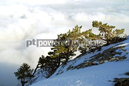 Nature: Pine-trees above the clouds #03493