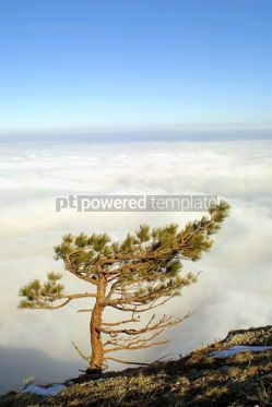 Nature: Pine-trees above the clouds #03494