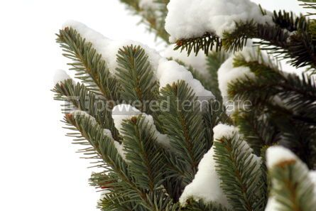 Nature: Snowy fir-tree branches in winter #03504