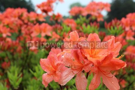 Nature: Rain drops on range azalea flowers #03589