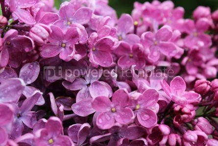 Nature: Raindrops On Lilac #03590