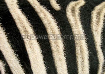 Abstract: Black and white stripes of a zebra #03610