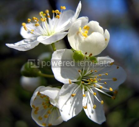 Nature: cherry bloom in spring #03614