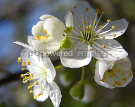 Nature: cherry bloom in spring #03615
