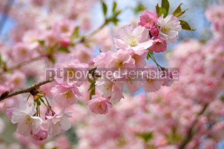 Nature: Spring sakura blossom #03616