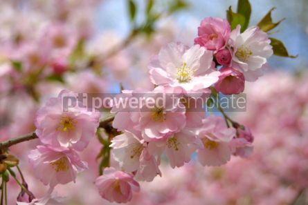 Nature: Spring sakura blossom #03617