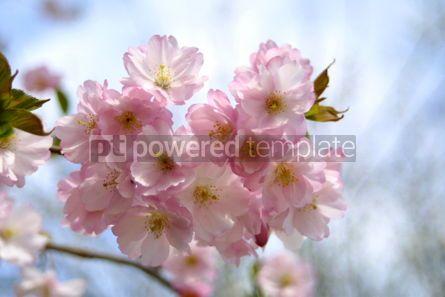Nature: Spring sakura blossom #03618
