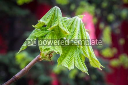 Nature: Branch of a chestnut tree with sprouting leaves #03619