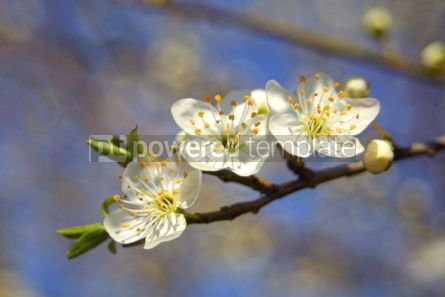 Nature: cherry bloom in spring #03621