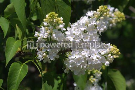 Nature: White lilac #03622
