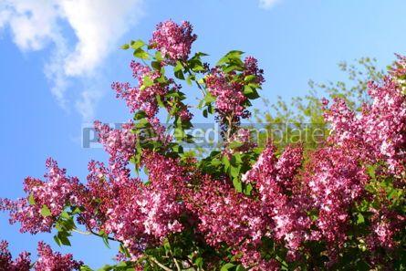 Nature: Violet lilac #03623