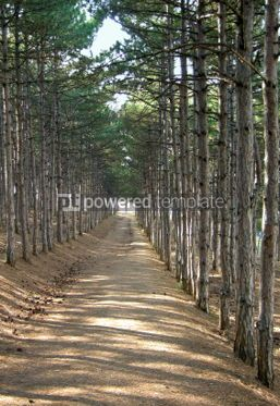 Nature: Pine forest #03631