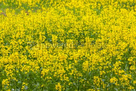 Nature: Rapeseed field in the springtime #03638