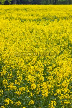 Nature: Rapeseed field in the springtime #03639