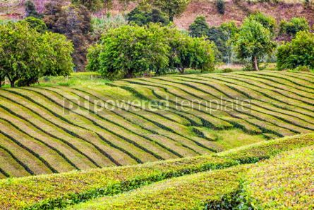 Nature: Tea plantations on Sao Miguel island Azores Portugal #03650