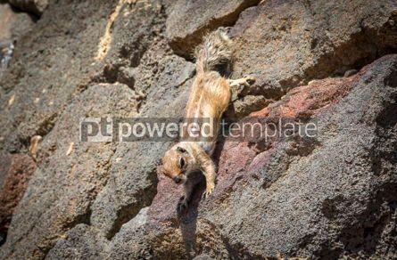 Animals: Barbary Ground Squirrel on Fuerteventura island Canaries Spain #03766
