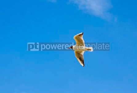 Animals: Silver seagull in flight against a blue sky background #03770