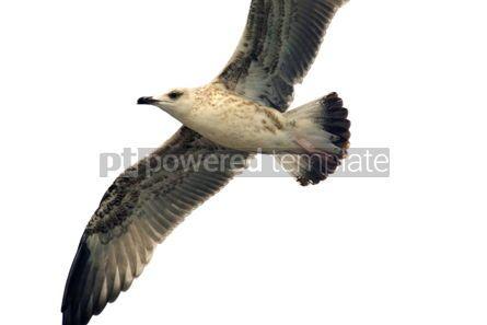 Animals: Seagull #03771