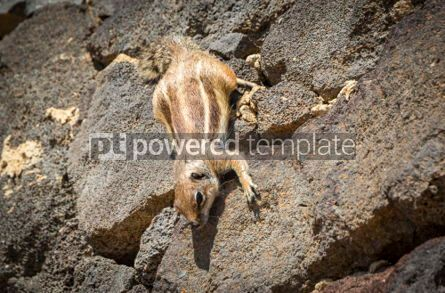 Animals: Barbary Ground Squirrel on Fuerteventura island Canaries Spain #03772