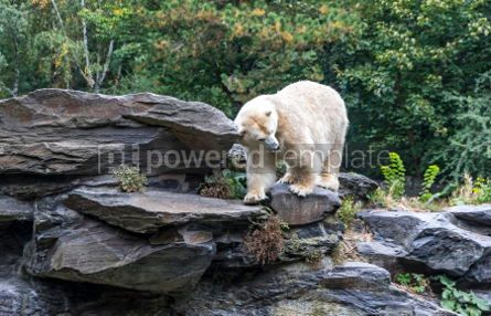 Animals: White polar bear #03773